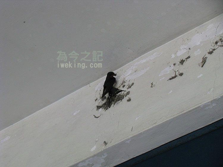 燕子築巢情形