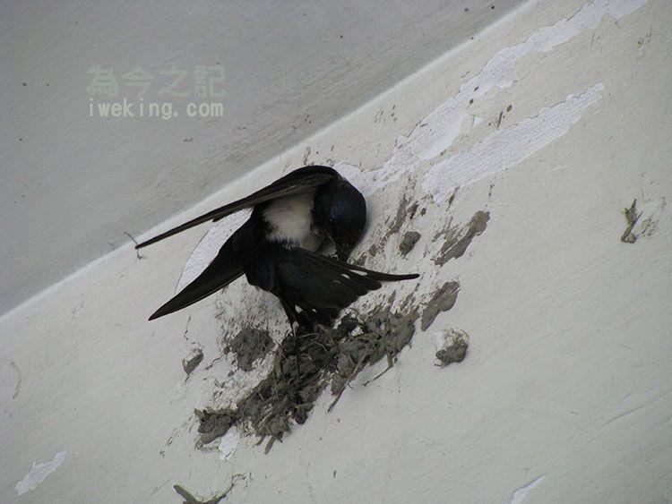 燕子啣泥枝正在築巢