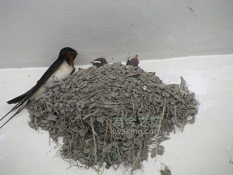 燕爸燕媽棲息在巢邊