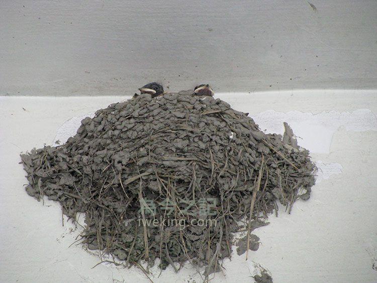 燕爸燕媽若沒去啄食物回來時,小燕子多半會安靜的待著