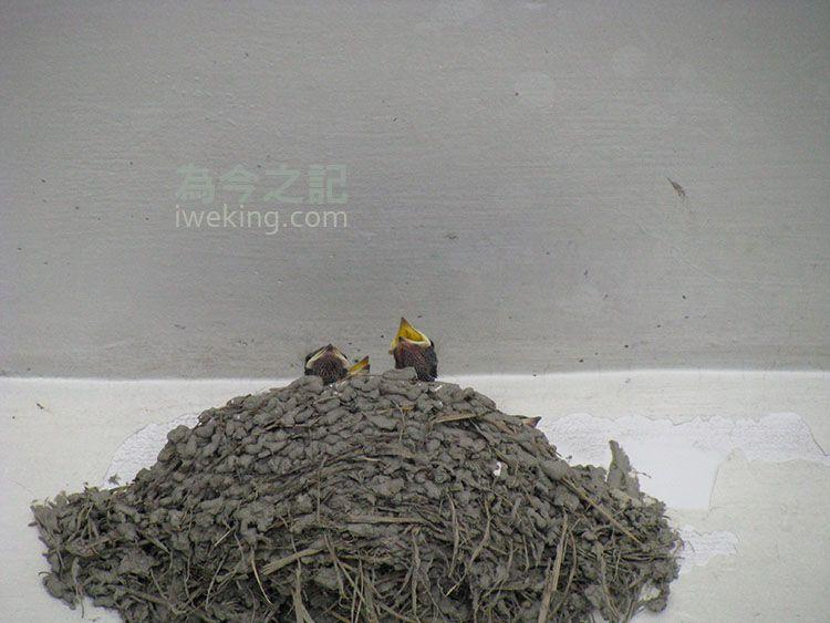 燕爸燕媽快飛近燕巢時,小燕子遠遠就會看見,立即張嘴等待餵食