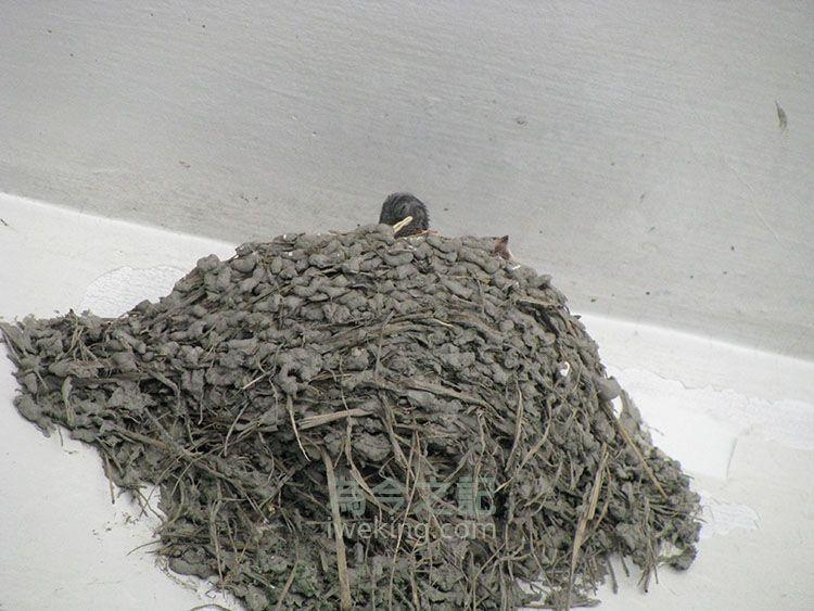 小燕子應該是在整理羽毛