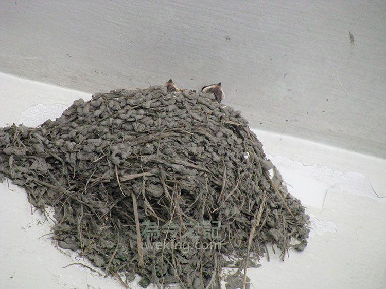小燕子望著巢外,等待燕爸燕媽回來