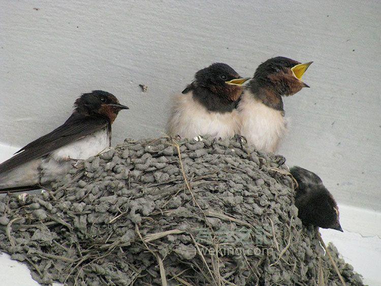存活的小燕子等待餵食