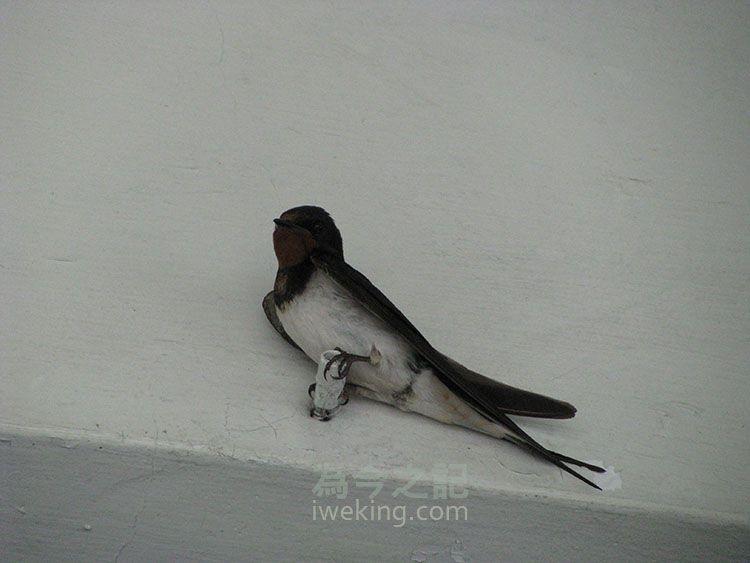 獨處的燕子