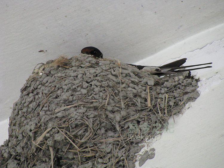 ▲圖1:燕子窩在巢中。