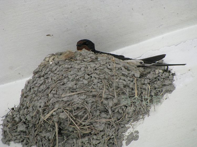 ▲圖2:燕子注視巢外一舉一動。