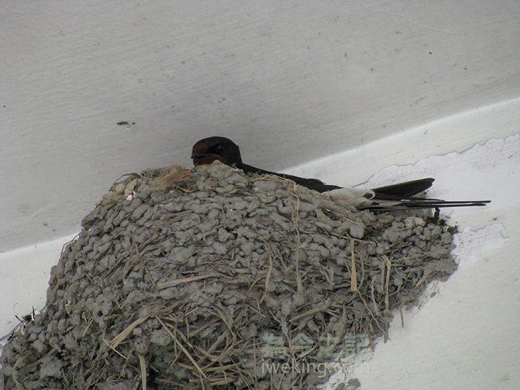 ▲圖3:燕子注視巢外動靜。