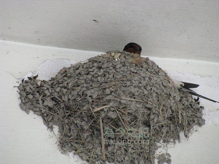 ▲圖5:公燕與母燕不時輪替。