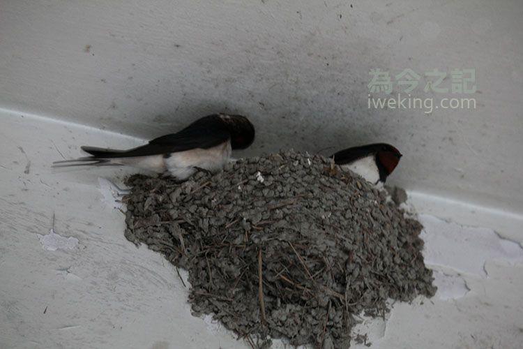 ▲圖3:燕子在巢中。